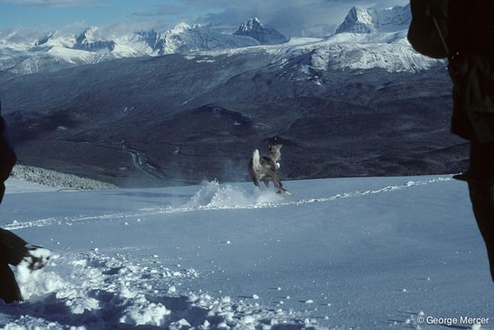 Collared_Caribou_Reindeer_Release