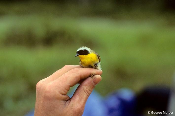 Warbler_Bird_In_Hand