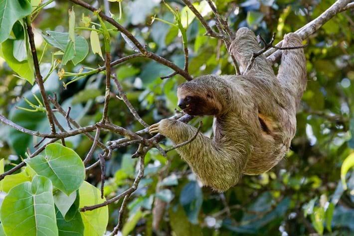 24 01 2014 Three Toed Sloth