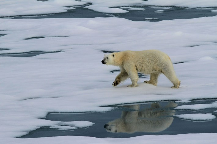 28 01 2014 Polar Bear Climate Change