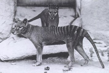 Thylacine_03_04_2014