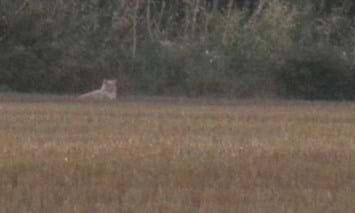 Lion Sighting In Essex 03 04 2014