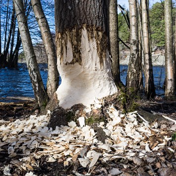 Beaver_Sweden_damage_trees_09_04_2014