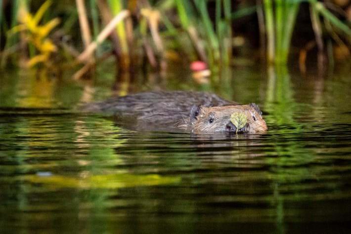 Eurasian beaver_09_04_2014