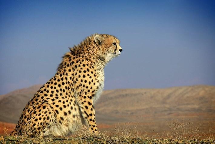Asiatic Cheetah 11 4 2014