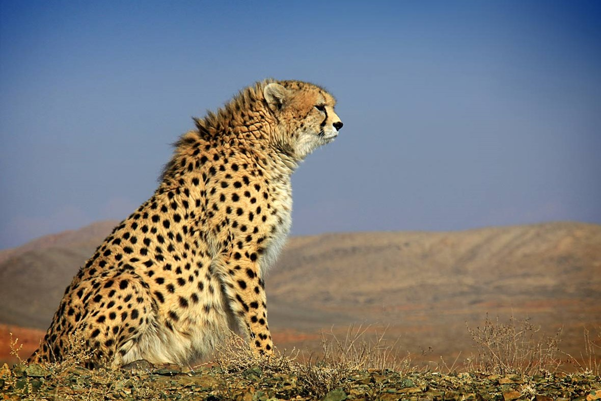 Asiatic Cheetah 11 4 2014