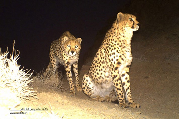 Asiatic cheetah_camera_trap2_11_04_2014