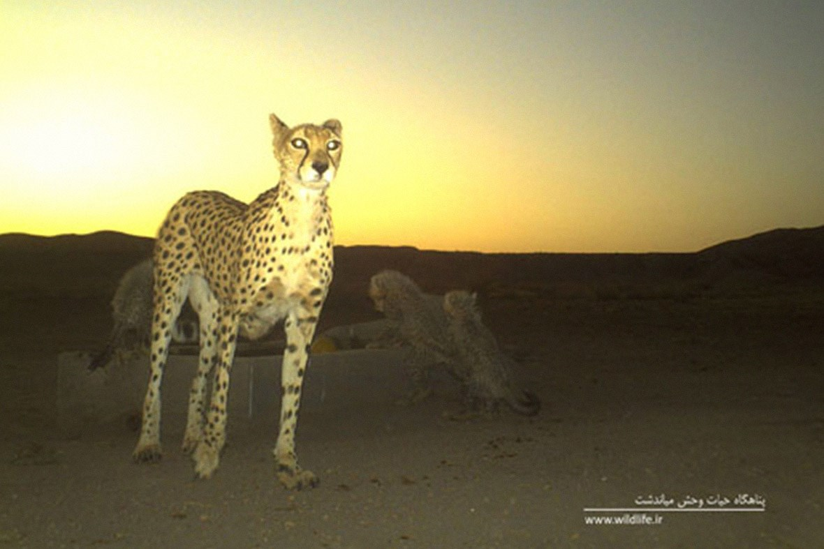 Asiatic cheetah_camera_trap1_11_04_2014