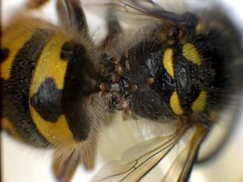 Invasive Wasp Newzealand 23 04 2014
