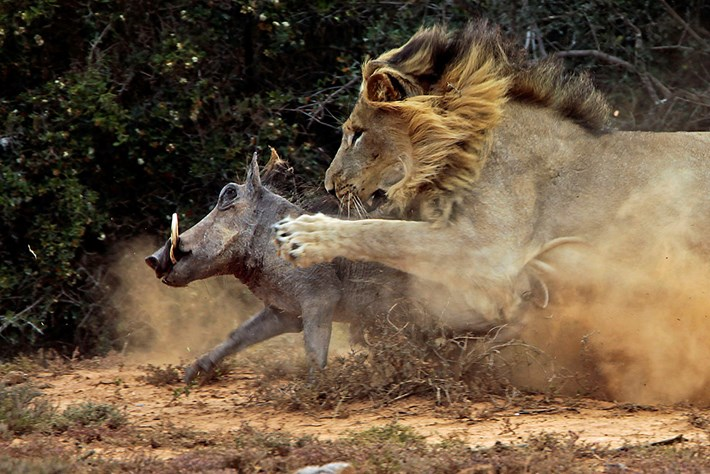 Photographer captures warthog's epic clash with a lion