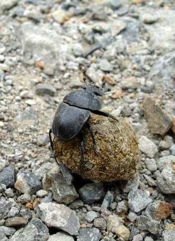 Dung Beetle Ball 29 04 2014