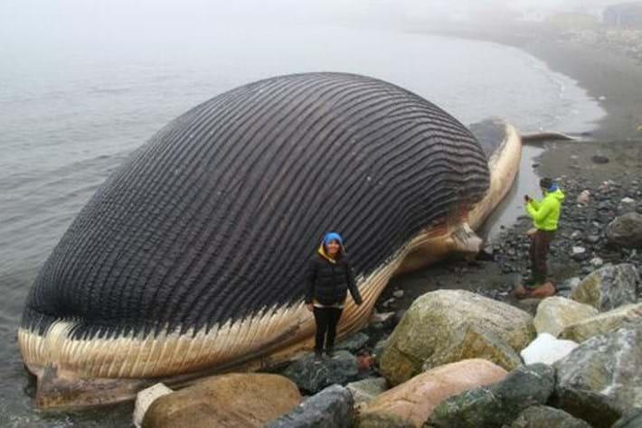 Whale Carcass Newfoundland 30 04 2014