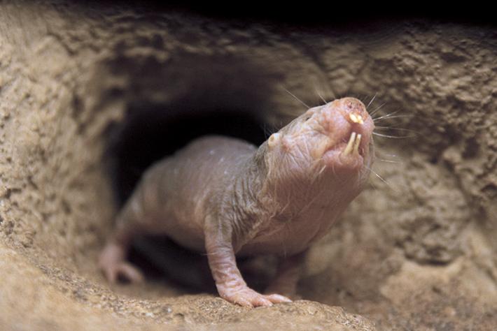 2014 5 5 naked mole rat (2)
