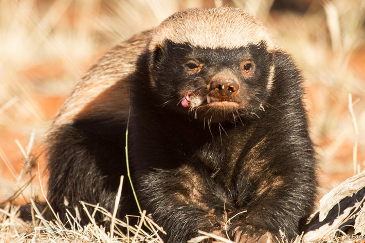 Honey Badger Intelligence 08 05 2014