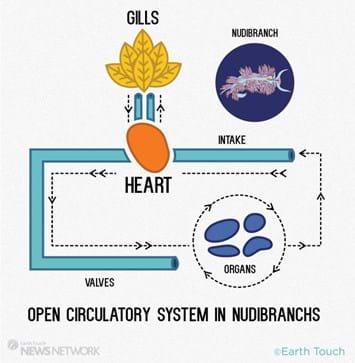 nudibranch heart 2_2014_5_13