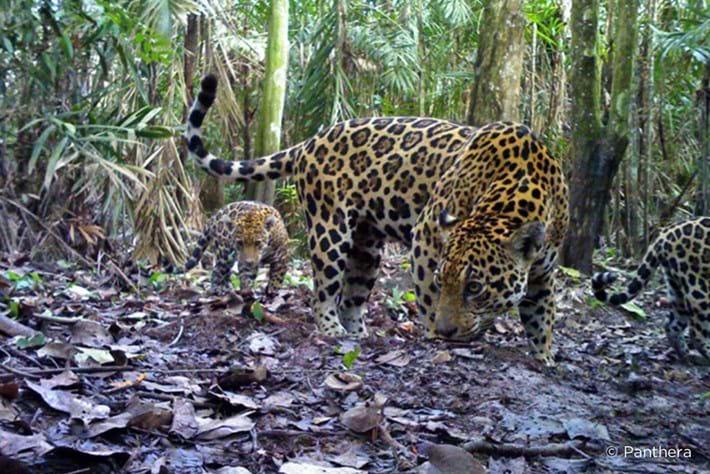 Jaguar_corridors_Panthera3_2014_05_14