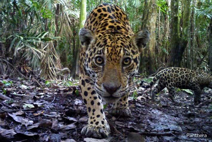 Jaguar_corridors_Panthera1_2014_05_14