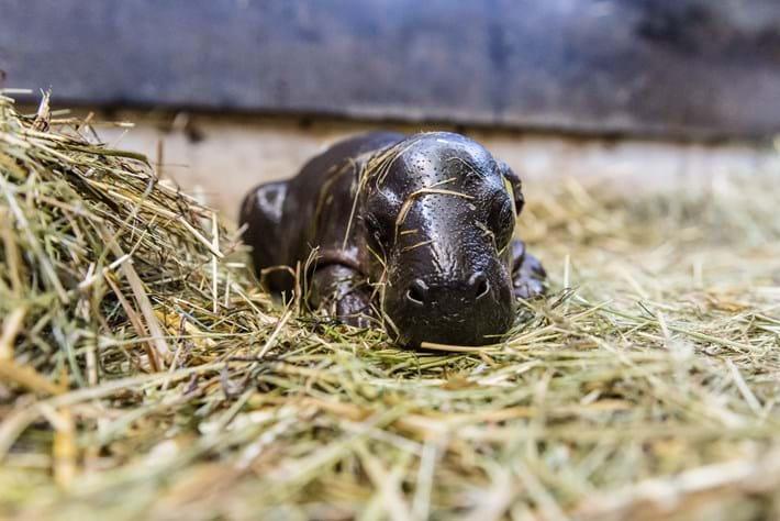 Newborn Pygmy Hippo. Enough Said.