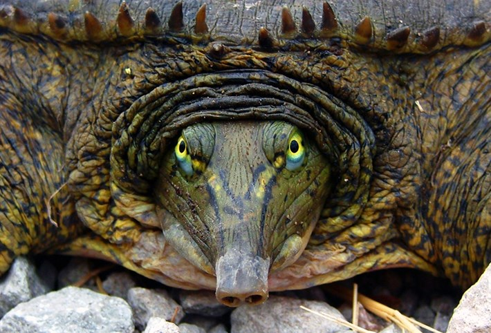 Turtleday_eastern spiny softshell_2014_5_23