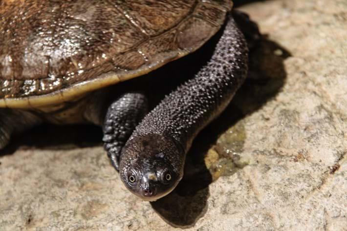 Turtleday_Roti Snake Necked_2014_5_23