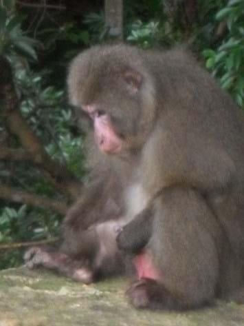 Yakushima Macaque Masturbating 2014 05 23