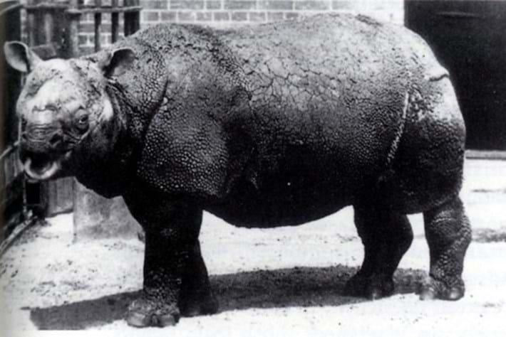 Javan Rhino Zoo 2014 05 27