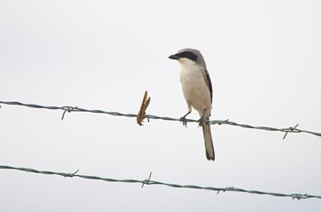 Shrike_prey_fence_2014_05_28
