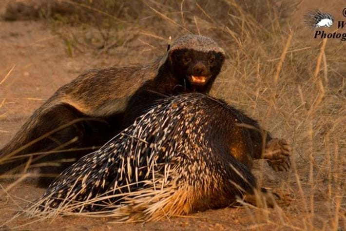 In photos: Honey badger feasts on a porcupine