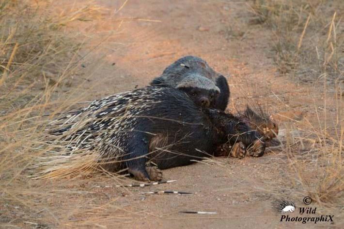 honey badger_porcupine2_2014_06_20