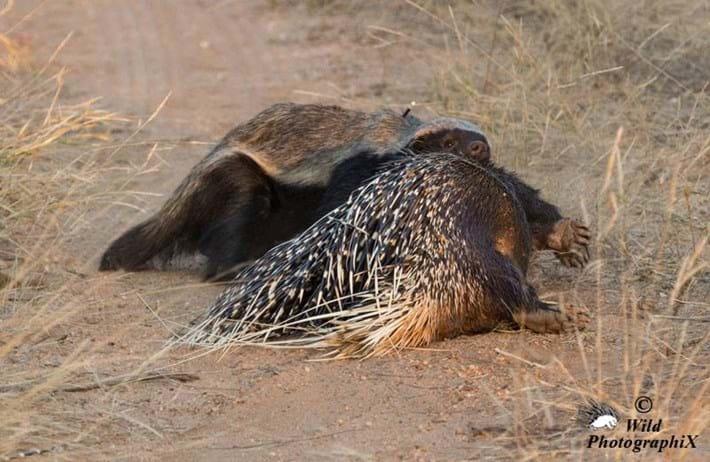honey badger_porcupine5_2014_06_20
