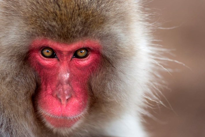 Wildscreen photo_jap monkey_2014_6_24.jpg