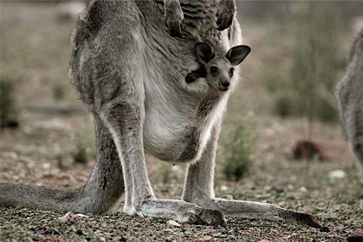 Kangaroo Joey 2014 06 24