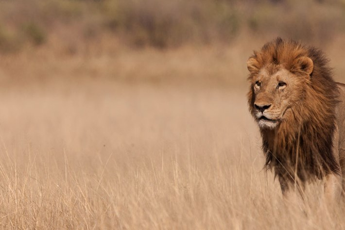 Lionking Header 2014 06 25
