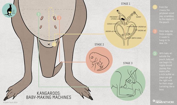 Kangaroo_joey_infographic_2014_06_24