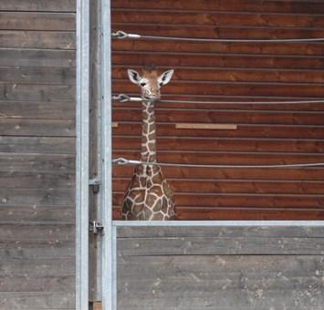 Giraffe Copenhagen Zoo 2014 06 26