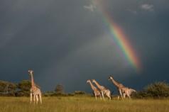 Giraffes_2014_07_02