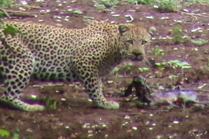 leopard impala birth-page-2014-7-2