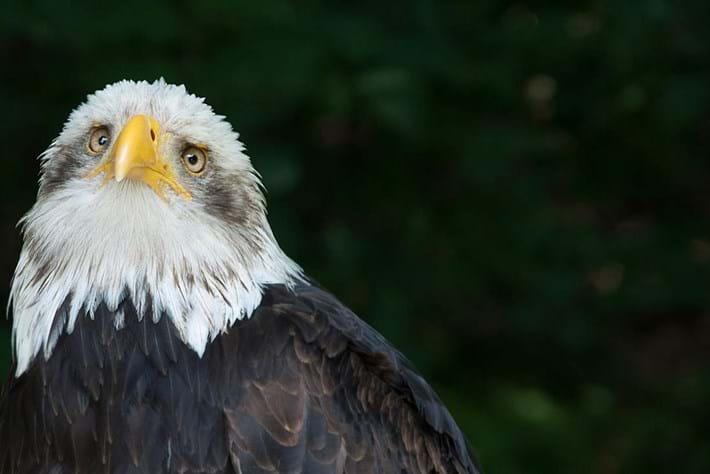 eagle-depressed-2014-7-4.jpg