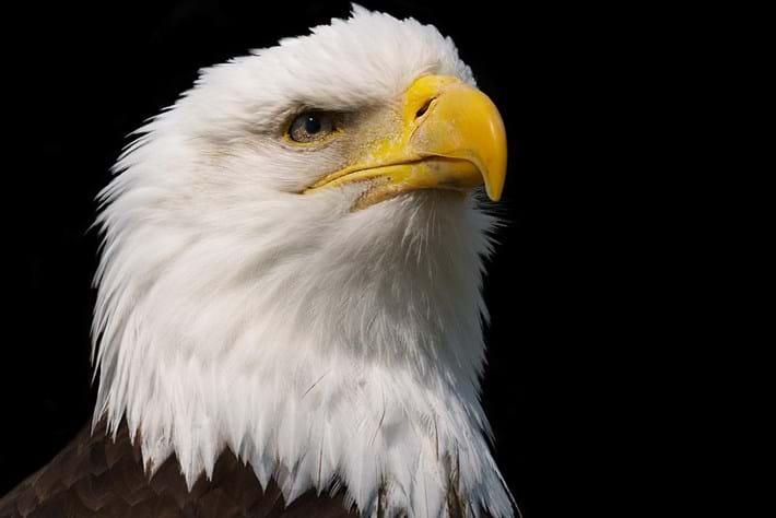 eagle-pensive-2014-7-4.jpg
