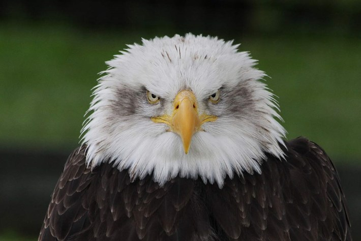 For a bit of fun this 4th of July ... the many moods of the bald eagle