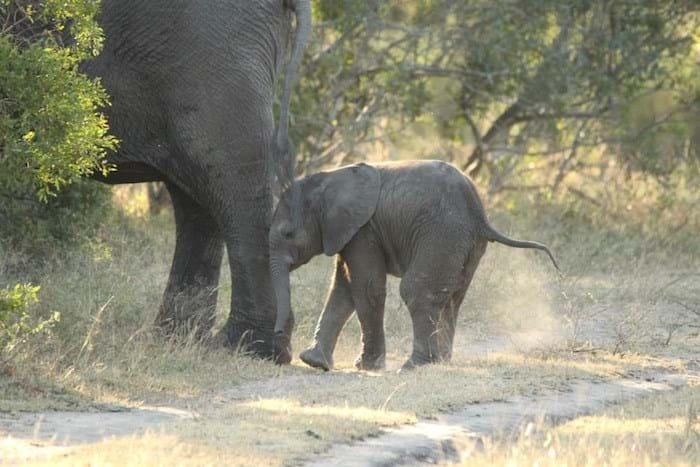 Baby Elephant With Mom 2014 07 02