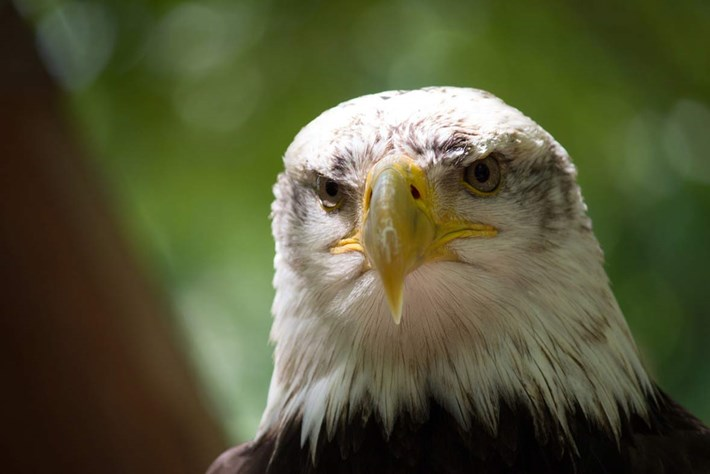eagle-grumpy-2014-7-4