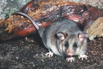 mountain pygmy possum_2014_07_15