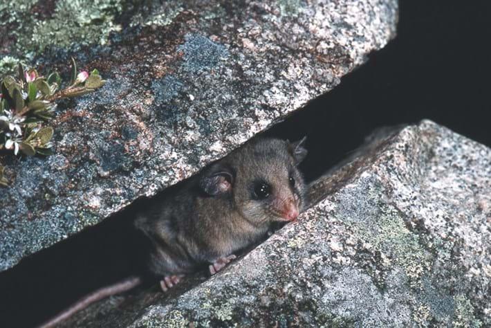 mountain pygmy possum2_2014_07_15