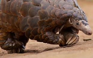 Newsflash: pangolins walk like T. rex