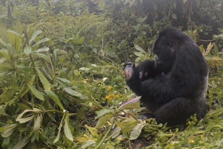 gorillas-page-2014-7-22