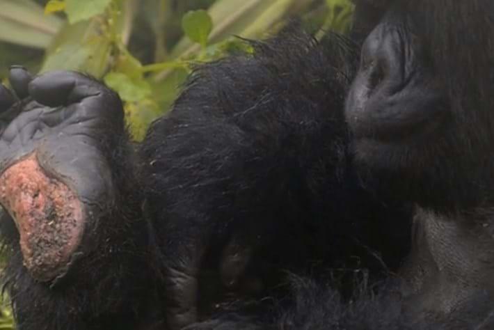 gorilla-foot-2014-7-22