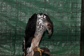 Smuggled African Hawk eagle_2014_07_21