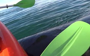 Video: Kayak gets lifted by whale ... yes, really.
