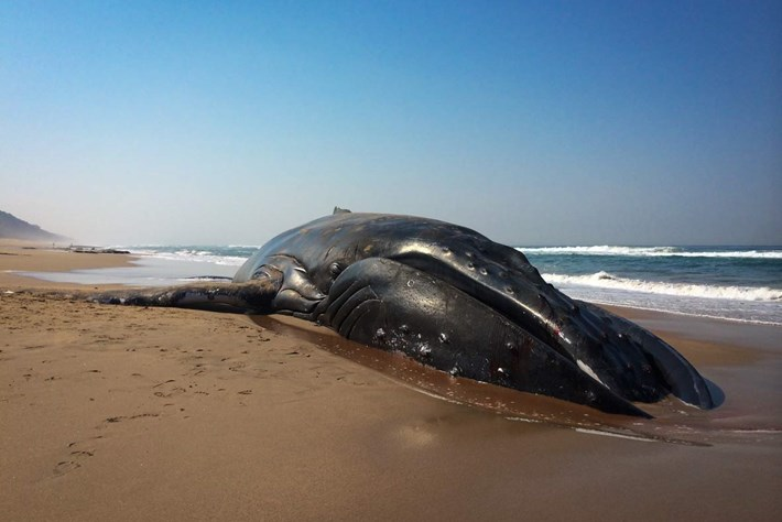 On the scene: Whale stranding near Durban, South Africa